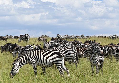 10 Days Combined Kenya and Tanzania Masai Mara, Lake Nakuru, Amboseli, Arusha, Lake Manayara, Serengeti, Ngorongoro Crater
