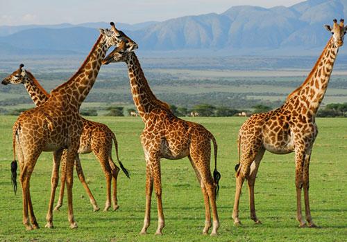 10 Days Kenya and Tanzania Circuit Standard Safari Lake Nakuru, Masai Mara, Serengeti, Ngorongoro Crater, Amboseli and Nairobi