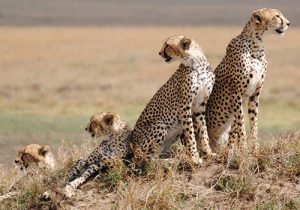 10 Days Standard Safari Masai Mara Game Reserve, Lake Nakuru National Park, Amboseli National Park, Arusha, Serengeti, Ngorongoro Crater