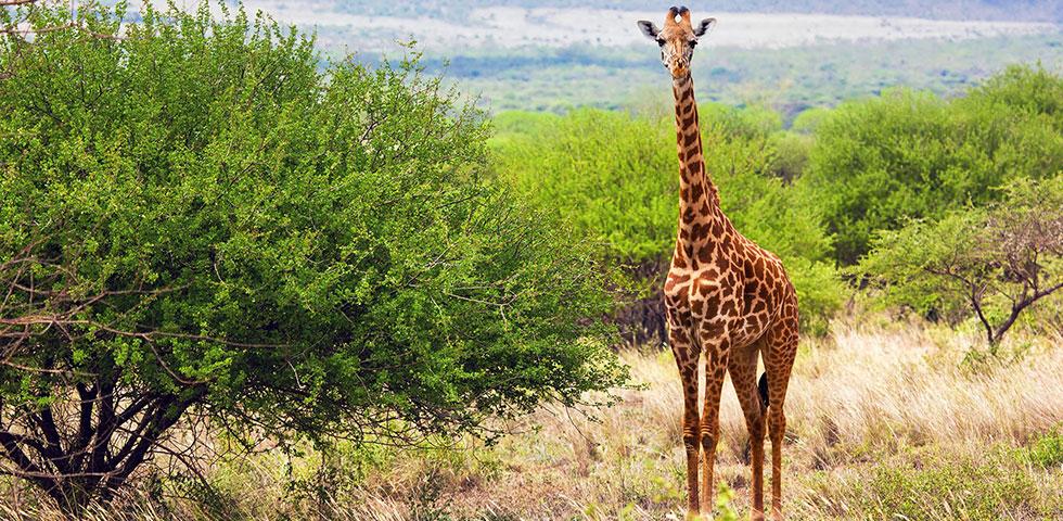 11 Days Masai Mara, Lake Nakuru, Lake Naivasha, Amboseli, Tsavo West / Tsavo East