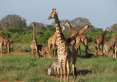 12 Days Group Joining Masai Mara, Lake Nakuru, Amboseli, Arusha, Tarangire, Ngorongoro Crater, Serengeti National Park and Lake Manyara Budget Safari.