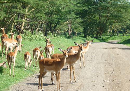 13 Days Kenya and Tanzania Safari Masai Mara Game Reserve, Lake Nakuru National Park, Amboseli National Park, Arusha, Tarangire, Ngorongoro Crater, Serengeti National Park and Lake Manyara
