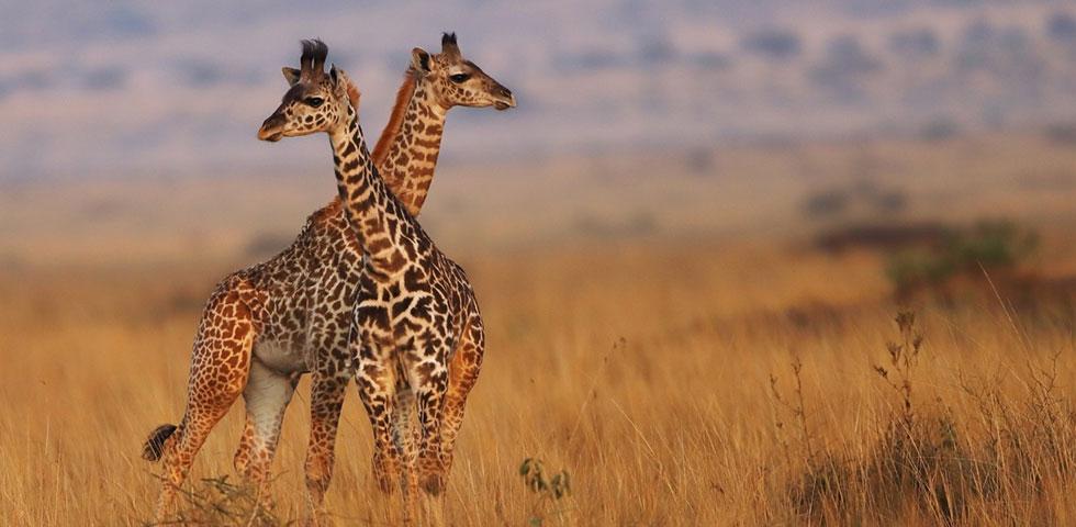 3 Dae Kenya Wildlife Safari To Great Masai Mara Game Reserve