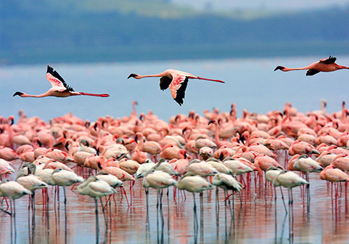 4 Days Kenya Wildlife Safari to Famous Masai Mara and Lake Nakuru.