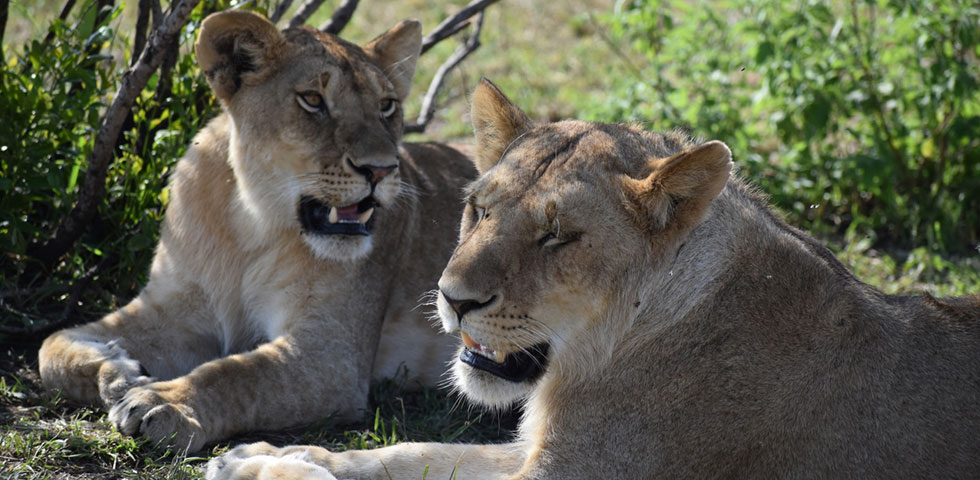 5 Days Kenya Lodge Safari Masai Mara, Lake Nakuru and Amboseli National Park