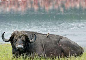 6 Days Kenya Budget Safari Masai Mara,Lake Nakuru and Amboseli National Park