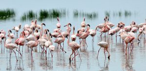 7 Days Kenya and Tanzania Circuit Safari Lake Nakuru, Masai Mara, Serengeti, Ngorongoro Crater and Arusha