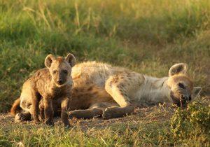 8 Days Kenya and Tanzania Standard Safari Masai Mara, Lake Nakuru, Arusha, Lake Manyara, Ngorongoro Crater and Tarangire National Park.