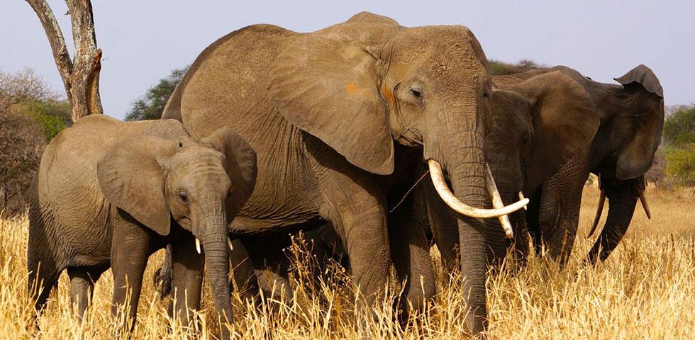 10 Days Kenya and Tanzania Safari Adventure/ Masai Mara Game Reserve/ Amboseli National Park/ Tarangire National Park/ Ngorongoro Crater