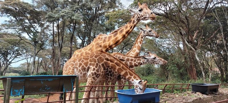 Giraffe Center - Bomas of Kenya